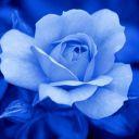 BlueRose_712