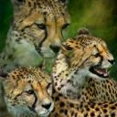 CheetahCubs123