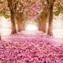 Sky of Cherry Blossoms