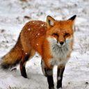Copper_Fox