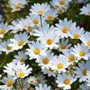 Daisy__2003