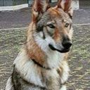 Dexter-la-Wolfdog