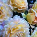 FlowerDaze