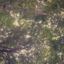 Lillygoldenflower
