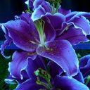 Lily Lavender Club