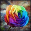 une_rose_eternel