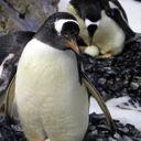 Penguin_Girl