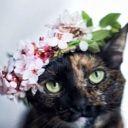 Pixie Lilac