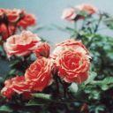 Rosesofred