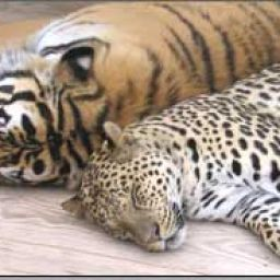 Tiger-Leopard_44