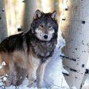 WolfeWolf