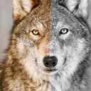 Wolfs_gemeinschaft