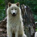 A Cute Werewolf Girl