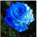 bé Blue (Hoa Hồng Xanh)