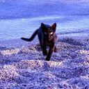 bluecat_72