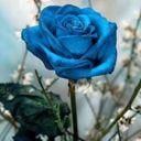 bluerose_lady144