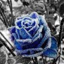 bluewinterrose13