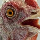 emo_chicken