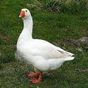 Happy Goose