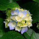 hortensiake