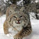 Lynx_Stories