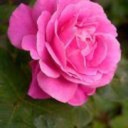 pinkrose21
