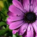 purple_daisy0403