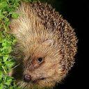sidewayshedgehog