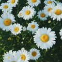 sunflower290506