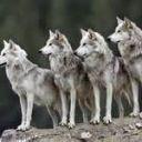 Wolves' girl