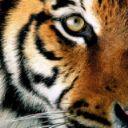 tiger_rainbow