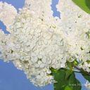 whitelilac226